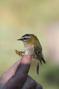 Le Roitelet triple bandeau effectue des invasions migratoires (comme en 2017) de plus en plus fréquentes dans notre région, en provenance des zones forestières d'Europe centrale. C'est avec le Roitelet huppé le plus petit oiseau d'Europe (4,5 à 6 grammes).Credit photos Alexander Hiley ©