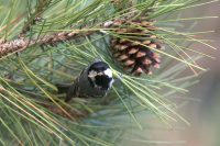 La Mésange noire est une espèce connue dans notre région pour ses invasions tous les 5 à 8 ans. En provenance des forêts de conifères baltes et de République tchèque, elle vient hiverner dans notre région en masse. Avec les changements climatiques impactant la taïga, ces invasions deviennent de plus en fréquentes (2012, 2015, 2017...)Credit photos Alexander Hiley ©