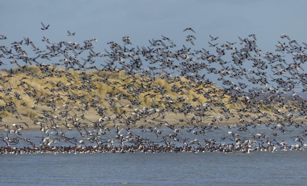 A la découverte des oiseaux hivernants de la baie de Somme